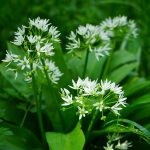 bears-garlic-474316_1280